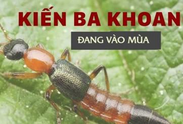 Đề phòng những nguy hiểm từ kiến ba khoang