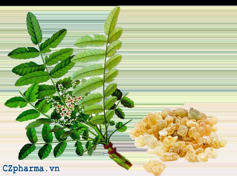 Cây nhũ hương Ấn Độ - Boswellia Serracta